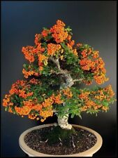 Pyracantha Bonsai Orange Fortuneana Firethorn Perennial Tree Home Garden Plants