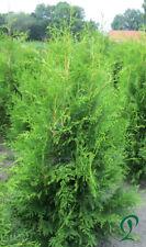 Thuja Brabant Heckenpflanze 80 x Lebensbaum 80-100 cm inkl. Versand 665,- Euro.