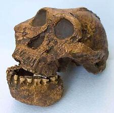 MOULAGE FOSSILE crane Paranthropus boisei KNM-ER 406 australopithecus skull cast