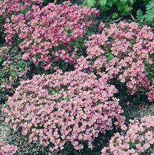 Alyssum - Rosie O'Day - 1500 Seeds
