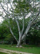 Elephant Ear Pod Monkey Ear Pod Tree Enterolobium contortisiliquum 50 Seeds