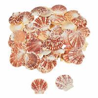 Pecten Macarensis Sea Shells - Craft Supplies - 1 Piece