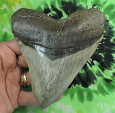 Megalodon Sharks Tooth A GRADE 5 1/16'' inch fossil sharks teeth tooth