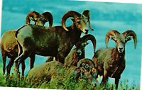 Vintage Postcard - Bighorn Sheep Of The Rocky Mountains Unposted #2165