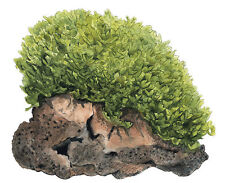 Monosolenium tenerum / Tropica Pot / Live aquarium Plant / Best Quality