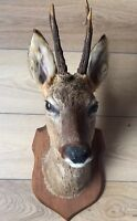 Antique Taxidermy Roe Deer Stags Head Mounted