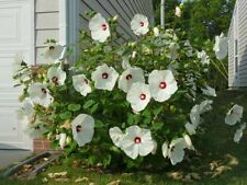 Hibiscus moscheutos Luna White 10 seeds FREE SHIP