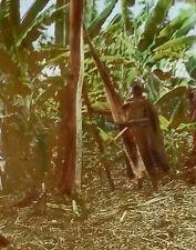 Native Peeling Bark-cloth Tree, Near Kampala, Uganda, Magic Lantern Glass Slide