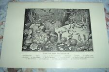 1919 LIFE ON SEA BOTTOM Anemones Prawn Starfish Sea Horse Shrimps Carp Print