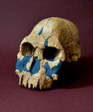 Homo Rudolfensis Skull Replica
