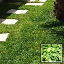 100 Dichondra Repens Seeds High Viable Herb Seeds Ground Cover Plant Lawn Grass