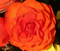 BEGONIA TUBEROUS DOUBLE ORANGE Begonia Tuberosa - 100 Bulk Seeds