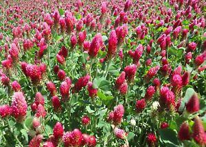 Inkarnatklee Blut Rosen roter Klee für Bienen Trifolium incarnatum 🐝+3000 Samen