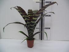 Bromeliad Vriesea Era Live Tropical Vivarium Terrarium Plant