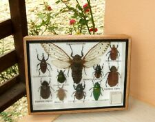 10 Real Insect Rare Insects Display Beetle Taxidermy in Wood Box Collectible
