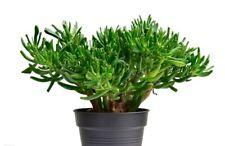 Crassula Amiens' Hobbit Live Plant -Succulent Aka Money, Friendship Lucky Plant!