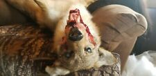 Chelsea Horror Taxidermy mount softmount soft coyote fox bobcat ram deer rouge