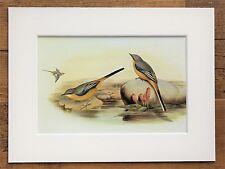 John Gould - 1970s Vintage Mounted Colour Bird Print - Grey Wagtail (20)