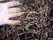 Würmer Groß/Big 1 kg inklusive Kostenlosen Versand + Extra Erde!