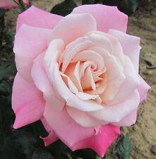 COSMOPOLITAN - 4lt Potted Hybrid Tea Garden Bush Rose - Pink/Apricot Blend