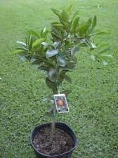 Washington Navel Orange Citrus Tree 5 Gallon Fruit Producing Age Live Plant