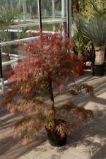 Ahorn-Bäume für gemäßigtes Klima-Fächer