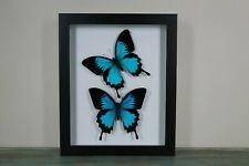 2 Blue Ulysses Butterflies in a Frame