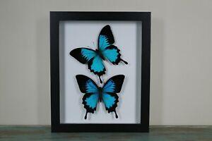 2 Blue Ulysses Butterflies in a Frame