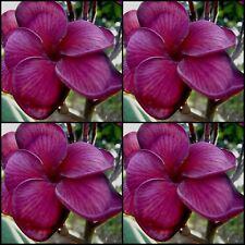 Plumeria Frangipani Tree <BLACK TIGER > 10 Seeds