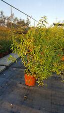 Lippia Citriodora - Citronella - Cedrina vaso 17