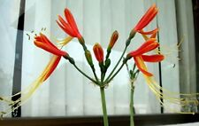 *UNCLE CHAN* 4 BULB EUCROSIA BICOLOR SPIDER LILY AMARYLLIS FAMILY FRESH PLANT