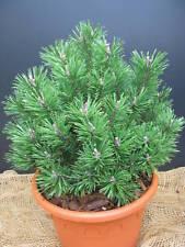 Zwergkiefer Pinus mugo Mumpitz 15-20cm Nadelgehölz Zwergsorte