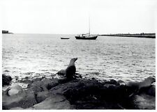 1969 Original Photo marine mammals seals swim ashore in the Galapagos Islands