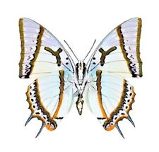Polyura eudamippus One Real Butterfly Indonesia Unmounted Wings Closed