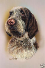 Robert J. May Head Study - Spinone Italiano (Rmdh087)