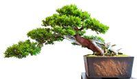 Garten Bonsai - Eibe -Taxus baccat -winterharte Bonsai Art - Japanischer Garten