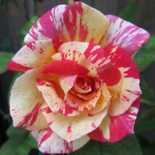 Bush Roses - 1 year old - Potted - Cabana - local delivery only, see note