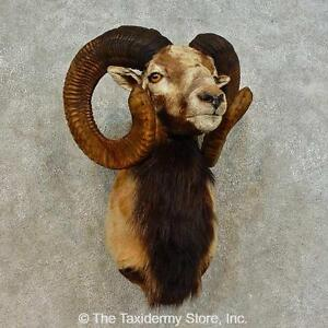 #16513 P | Corsican Ram Taxidermy Shoulder Mount For Sale