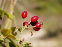 1000 Samen Rosa canina, Heckenrose, Hundsrose, Hagebutte