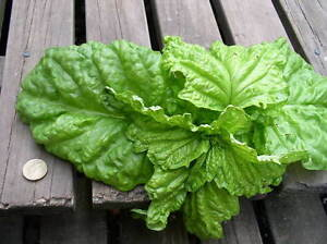 SWEET BASIL DAVID + GOLIATH LARGEST AND SMALLEST VARIETIES IN ONE DEAL 100 SEEDS