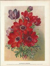 Stampa antica FIORI ANEMONE botanica 1896 Antique print flowers
