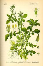 200 Samen echte Brunnenkresse (Nasturtium officinale)
