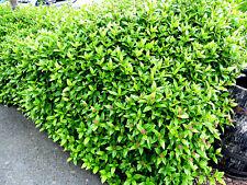 50 Laurustinus / Viburnum Tinus 15-25cm in 9cm Pots, Evergreen Hedging Plants