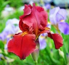 Usa Seller 25 Seeds Ruby Red Iris Orchid Flowers Garden Plants