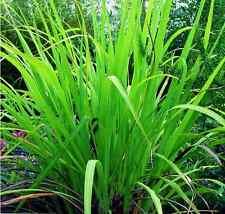 Huile essentielle de Palmarosa - Cymbopogon martinii pure et naturelle 1 litre