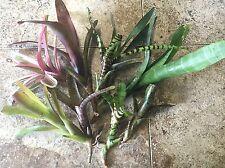 10 Neoregelia Bromeliads, Terrarium, Dart Frog, Vivarium