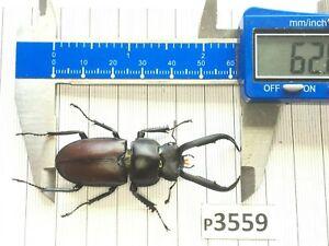 P3559 # Cerambycidae Lucanus insect beetle Coleoptera Vietnam