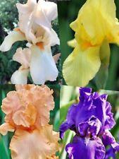 *Please Check Allowed States*  5+ Mixed Tall Bearded Iris Bulbs Corms Rhizomes