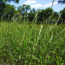 "Gulf Annual Ryegrass "" Cool Climate Lawn Grass "" - 1 Lb."
