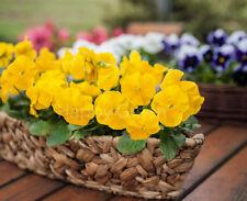 PANSY SWISS GIANT - YELLOW FLOWER - 550 SEEDS - Viola wittorckiana